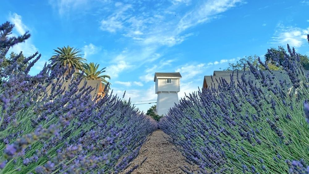 Thru the lavender to the historic water tower